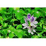 Mühlan Aquatic Plants - Pianta di giacinto (Eichhornia Crassipes) per laghetti e stagni