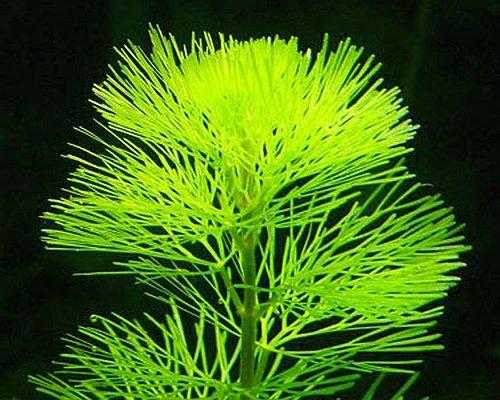 5-x-verde-cabomba-planta-acuario-tropical-rosa-verde-para-fish-tank-cabomba-caroliana