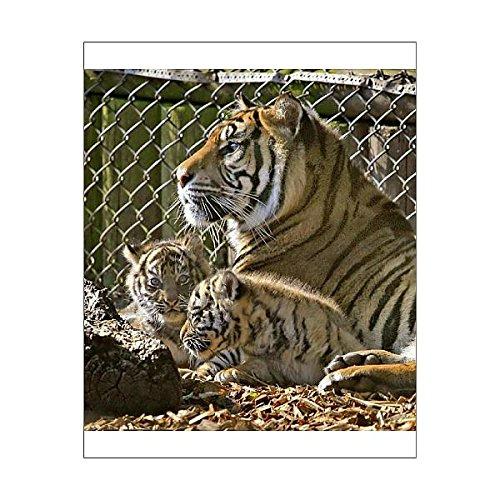 Media Storehouse 10x8 Print of Rare Sumatran tiger cubs at Chessington World of Adventures (1040496)
