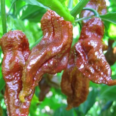 Chili Chocolate Bhut Jolokia - piment graines - 10 graines