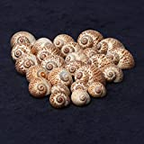Jainsons Pet Products Sea Shell For Aquarium And Home Decoration 100 Gm (SMALL-3-4 Cm)