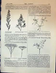 Il Ligustro 1878 di Panico del Giardino Vulgare Corymb Fiorisce Nemophilia Paniculata