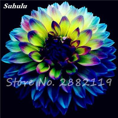 20 Pcs Graines de fleurs Dahlia Chineses Charme Bonsai Fleurs Belle (pas Dahlia Bulbes) Haut Germination jardin Plante en pot 15