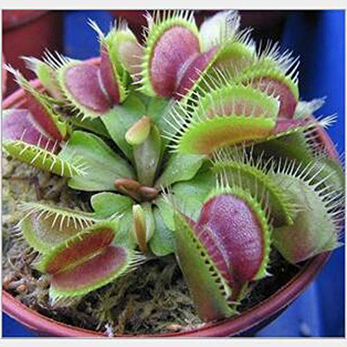 qbisolo 5 semi/pacchetto graminacee semi cordyceps magia strana pianta carnivora seme insettivori piantare i semi bonsai