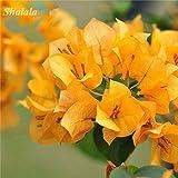 Go Garden Bougainvillier Graine Jaune Belle fleur jardin Décor 150pcs Novel plante
