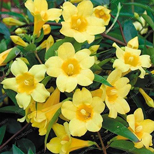 PLAT FIRM Germination Les graines: 20 Pcs/Sac jaune Graines de jasmin odorant des plantes rares en pot Bonsai jardin