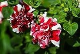 Petunie F1 Rose Pirouette 15 Samen, doppelblumig