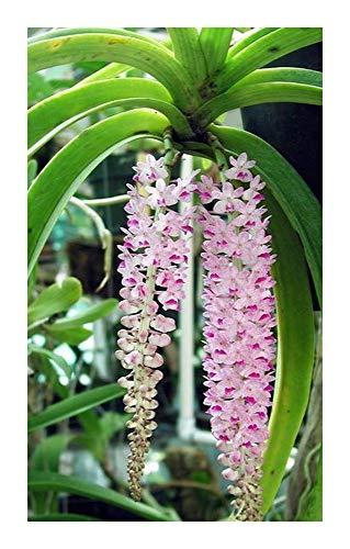 Rhynchostylis retusa - orchidées - 100 graines