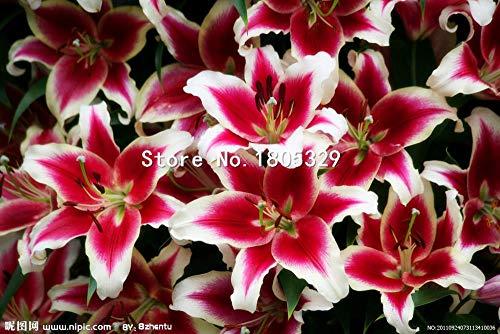Pinkdose Perte Promotion Un paquet de 50 pièces/paquet points jaunes coeur rouge blanc Fleur de lys Graines Bonsai Balcon Cour plante Lily Fleurs: Multicolore
