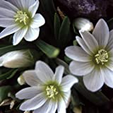 Lewisia Nevadensis Seeds