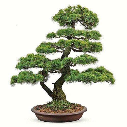 ZEARO 20 PCS Graines de Pin Cinq Aiguillées Japonais Pinus Parviflora Graines Bonsaï Everygreen pour Maison, Jardin, Extérieur