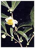 TROPICA - Pianta del tè (Camelia sinensis) - 10 Semi- Piante utili