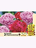 3 Paeonia Pfingstrosen Rosa und rot Big Bag