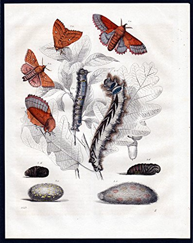 Eichen-Prozessionsspinner Schmetterling moths moth Lithographie lithograph