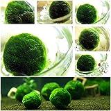 Soteer Garten- Wasser Gras Ball Samen Aquarium Moss Farn Wasserpflanze Landschaft Dekoration Gras Saatgut adorable mehrjaehrig (50 Korn)