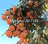 Nuova casa giardino di piante 6 semi di albero di cachi Diospyros frutta semina il trasporto libero