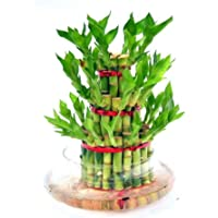 Kreative Marche Green Lucky Bamboo Two Layer Round Glass Pot- Gift A Plant & Good Luck