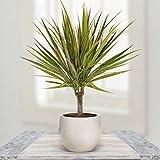 Dracaena Standard Bicolore P11 - 1 plante