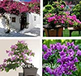 2016 100% ursprüngliche Qualitäts-200pcs Mix-Farbe Bougainvillea spectabilis Willd Samen Bonsai Pflanze Blumensamen Blumentopf pla