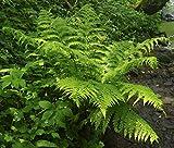 Athyrium filix-femina - 3 Pflanzen im 0,5 lt. Vierecktopf