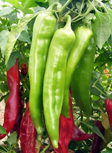 PLAT FIRM GERMINATIONSAMEN: 1000 Samen oder 1/4 Unzen: New Mexico Big Jim Chili Pfeffer Samen, NuMex, Luke, Ristra, KOSTENLOSER VERSAND