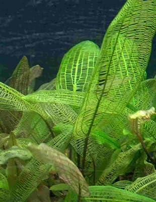 Aponogeton Madagascariensis, Breite Gitterpflanze von 230 bei Du und dein Garten
