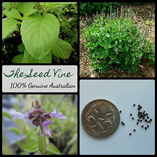 SONIRY Samen-Paket Nicht Pflanzen: + Bio Holy Basil Seeds (Indisches Basilikum) Thai -