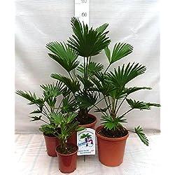 Palmen Familien SET 4 STÜCK - Winterharte Hanfpalme - Trachycarpus wagnerianus