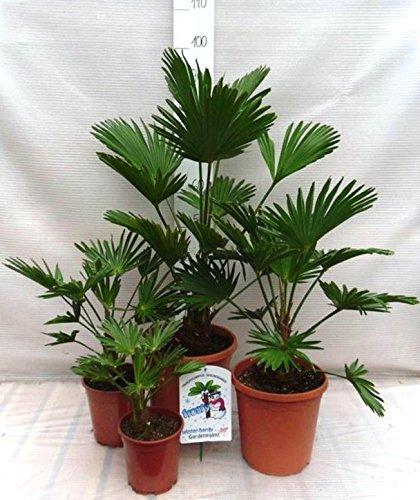 faecherpalme winterhart Palmen Familien SET 4 STÜCK - Winterharte Hanfpalme - Trachycarpus wagnerianus