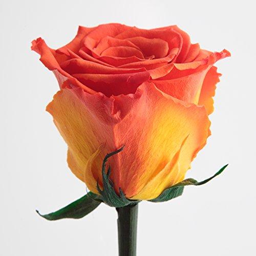 Ewig blühende konservierte Rose mit Rosenduft für besondere Anlässe und als besonderes Geschenk – Rosen mit Duft von ROSEMARIE SCHULZ Heidelberg (Orange)