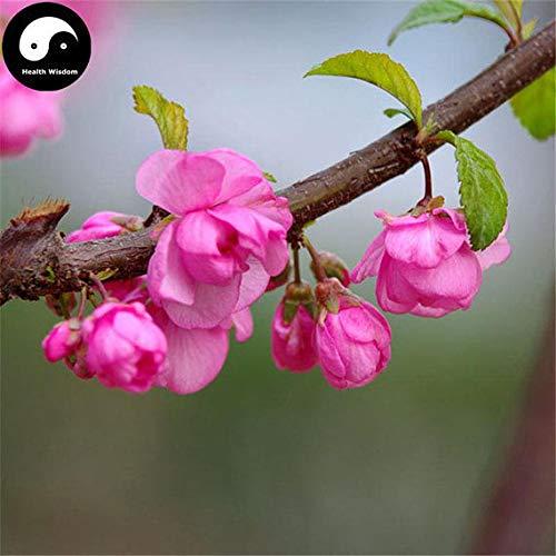 PLAT FIRM KEIM SEEDS: 30pcs: Kaufen Amygdalus Triloba Baumsamen Pflanze Triloba Für Pink Flower Yu Ye Mei