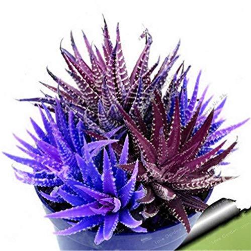 Bloom Green Co. Nouveau! 100 Pcs coloré Cactus Rebutia Variété Mix Exotique Floraison Cacti Rare Cactus Aloe Bureau Bonsai Plant Mini: 3 Succulent