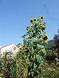 Portal Cool Russische Riesensonnenblume, Titan, bis zu 5 Metern, 20 Samen