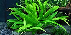 Tropica 1-2-Grow! Helanthium Quadricostatus 1 Stück