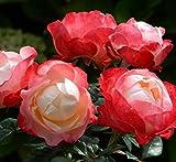 Pianta di rosa NOSTALGIE rosai rosaio fiori piante rose giardino cespuglio siepe
