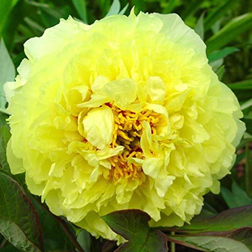 3: Pfingstrose, nicht Samen, Rare Recht gelbe Farbe Peony Schiff frei US by Farmerly -