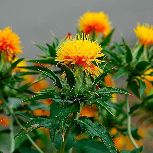 AIMADO Samen-10 Pcs Bio Färberdistel Samen,Wildfutter für Vögel oder heimische Nager,kräftige Sommerblume Blumensamen schnellwachsend für Bonsai Garten - Für Die Vögel Samen