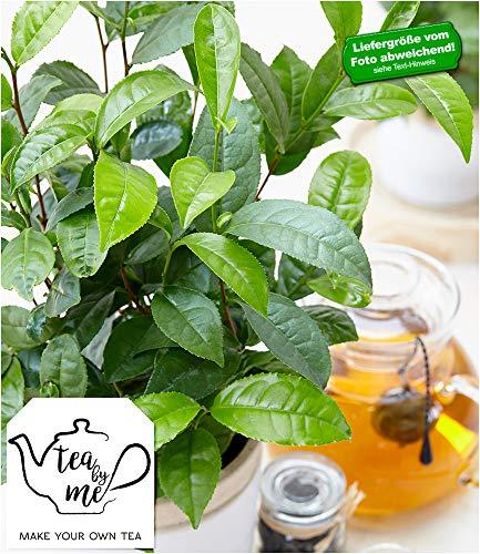 "BALDUR-Garten Winterharte Teepflanze""Tea by me®"", 1 Pflanze Camellia sinensis"