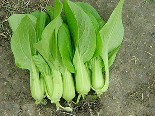 Keimfutter: 200 - Seeds: Petite-Sterne-Hybrid Pak Choi Seeds Baby-Shanghai pak Choi !! -