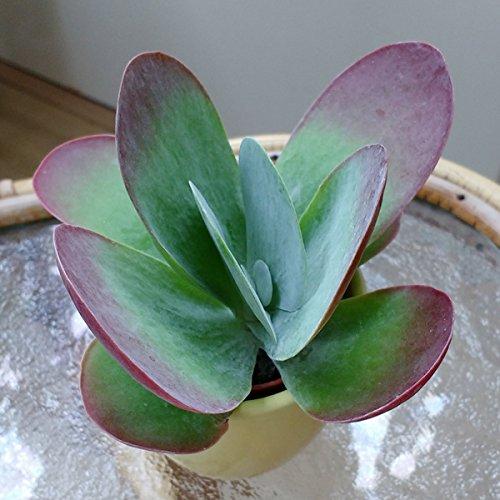 Kalanchoe thyrsiflora (tetraphylla) - Flapjacks - Paddle Plant - 1 Bouture de feuille