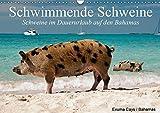 Schwimmende Schweine (Wandkalender 2019 DIN A3 quer): Glückliche Schweine im Dauerurlaub auf den Bahamas (Geburtstagskalender, 14 Seiten ) (CALVENDO Tiere)