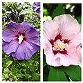 2er Set! Roseneibisch, Hibiskus syriacus `Helene` und `Marina`, ca. 40 - 60 cm, Pflanze im 3 L Topf von Grüner Garten Shop auf Du und dein Garten