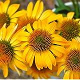 lichtnelke - Sonnenhut 'HARVEST MOON' Echinacea