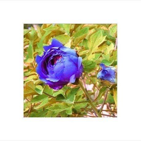 20 graines / Paquet pot Fleurs Pivoine Seeds Graines Potted Jardin Décoration Bonsai Fleur