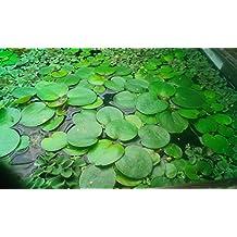 Conjunto de plantas flotantes - 25 piezas - para un estanque o acuario