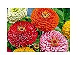 30x Zinnie Riesen von California Mix-Zinnien Samen Garten Blume KS305