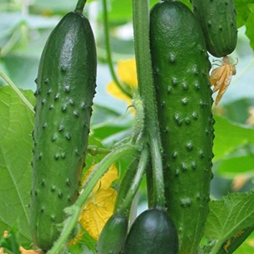 Inovey 20 Pcs/Pack Cucumber Seeds Crisp Vegetable Fruit Seed for Home Garden Greenhouse Planting