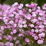 NR.40 Seme di Gypsophila Rosa- GYPSOPHILA SEEDS/SEMI DI FIORI STELLATI SONO FORNITI DA AUTFIT