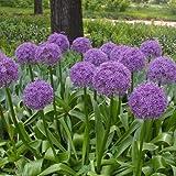 Gigante Cebolla - Delaman Cebolla Allium Giganteum Semillas Plantas Flores Para Decoración Jardín 100pcs