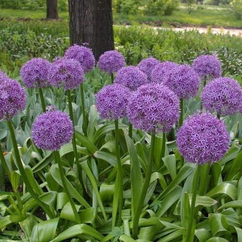 Riesige Zwiebel Zwiebelsamen Allium Giganteum Saatgut Pflanzensamen für Garten Dekoration 100 Stück Samen ()